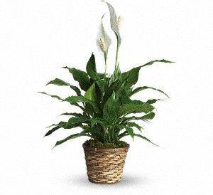 Simply Elegant Spathiphyllum - Small
