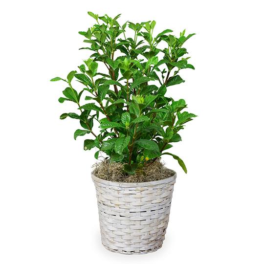 Gardenia Plant