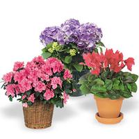 Seasonal Indoor Flowering Plant